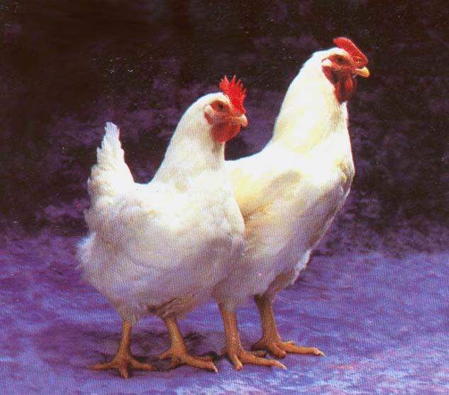 gambar ayam lucu dan unik