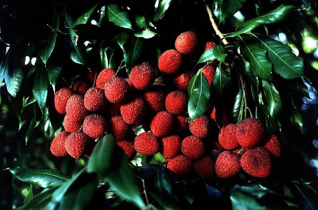 Quả Vải - Litchi sinensis - Nguyên liệu làm thuốc Chữa Đi Lỏng-Đau Bụng