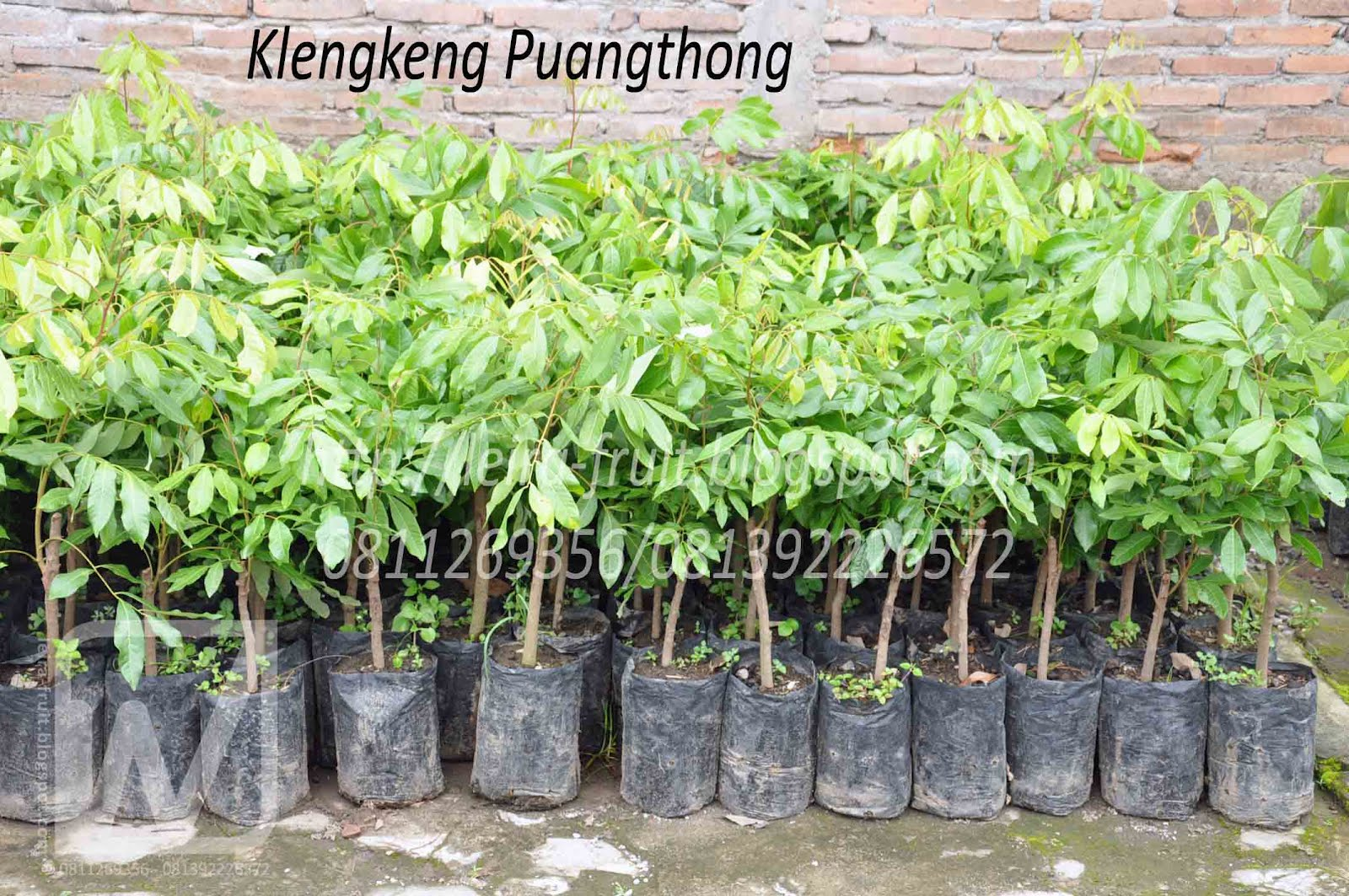 Ragam Bibit Tanaman Klengkeng (Dimocarpus longan) ~ Leira