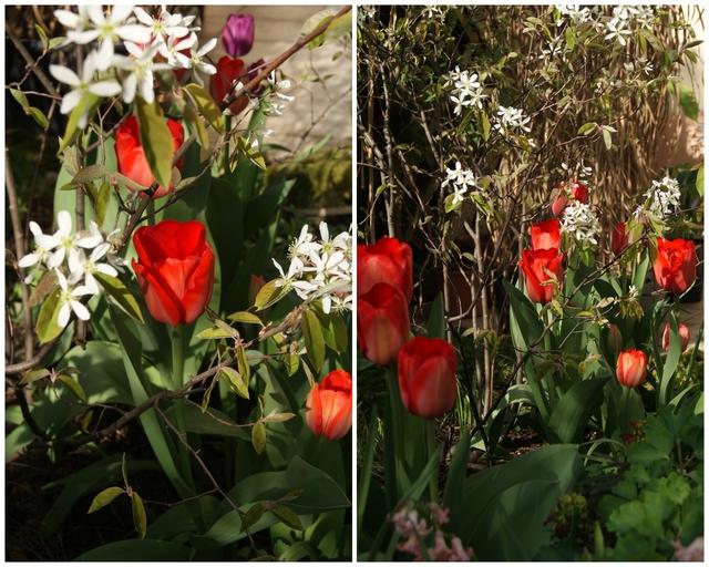 Darwin-Hybrid-Tulpe Red Impression vor Felsenbirne
