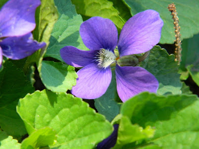 Wood violet (Viola odorata) spring flowers in a Riverdale ecological garden by garden muses-not another Toronto gardening blog