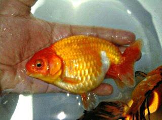 Budidaya Ikan Air Tawar yang Paling Menguntungkan