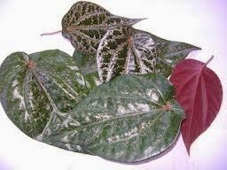 manfaat daun sirih merah untuk tratamiento de la diabetes