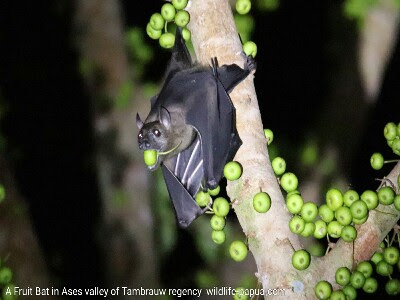 Fruit bat in Ases valley