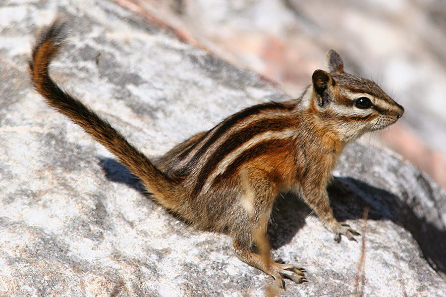 Least Chipmunk Animals Amazing Facts Amp Latest Pictures