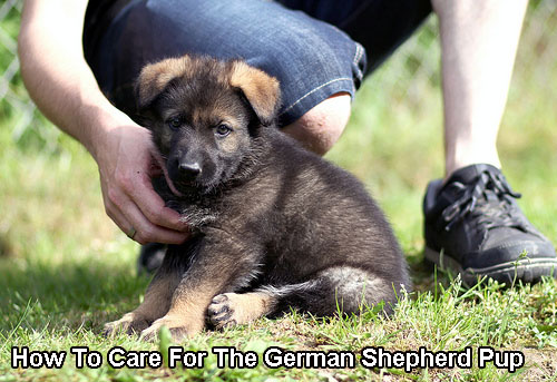 How To Care For The German Shepherd Pup