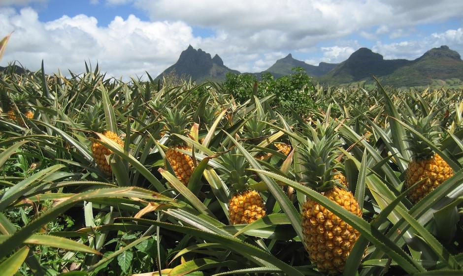 Lutte biologique : Maladie nématode ananas