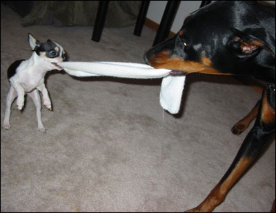 Funny Doberman Pinscher Nice Images Funny Animals