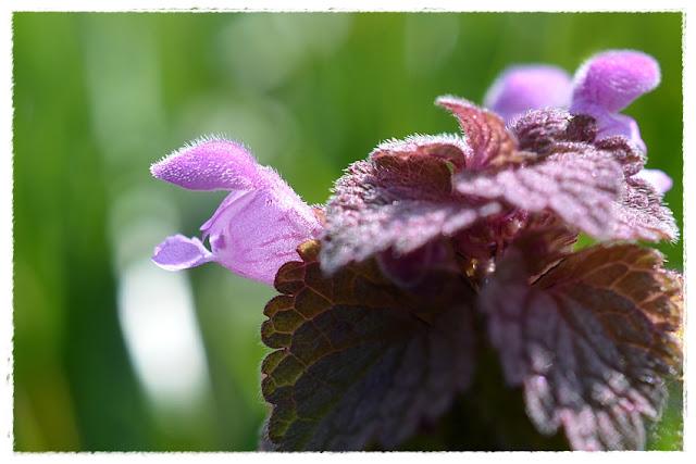 fleur de lamier pourpre