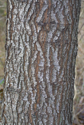 Discovering Wood Bradford Pear