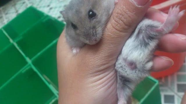 Cara Mudah Membedakan Jenis Kelamin Hamster
