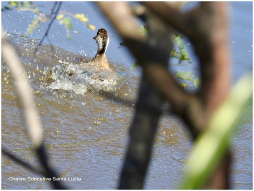 Un pato se tira al agua - Chacra Educativa Santa Lucía