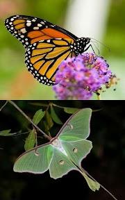 Ordo Lepidoptera
