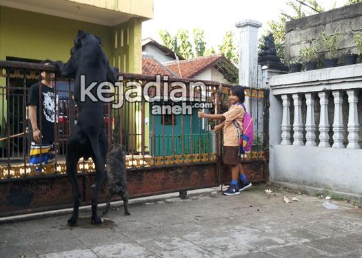 anjing great dane 13 Mitos Aneh Memelihara Anjing Raksasa Di Indonesia