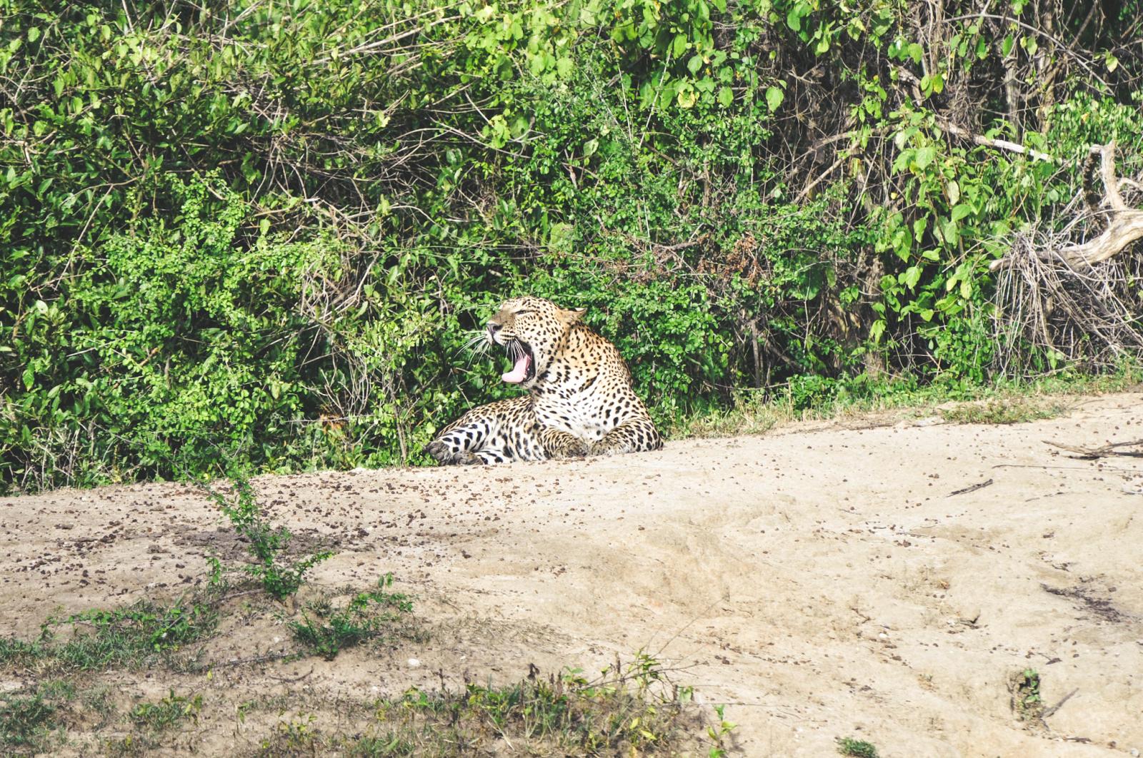 Yala National Park Safari Leopard