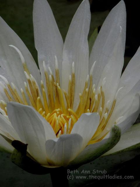 Bee a Lily Photo by Beth Ann Strub