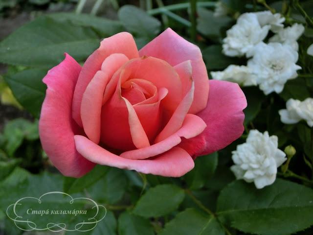 Роза Marco, розы, розарии, сад и розы