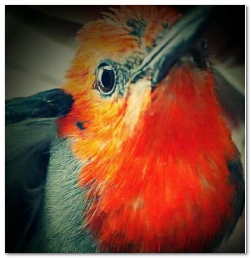Cara Merawat Burung Kemade Agar Gacor