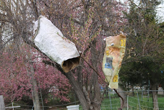 Chicken feed bags on peach tree