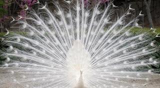Burung Merak Putih yang Anggun