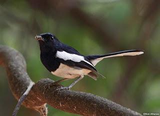 Burung Kacer yang Semakin Menipis di Alam Mengharuskan Parakicaumania Menangkarkan Burung Kacer