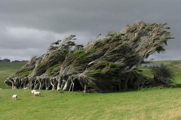 أشجار ويندسويبت في نيوزيلندا