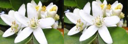 Orange blossom meaning in hindi, Spanish, tamil, telugu, malayalam, urdu, kannada name, gujarati, in marathi, indian name, marathi, tamil, english, other names called as, translation