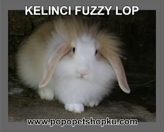 kelinci jenis fuzzy lop