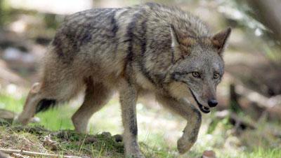 Coywolf aneh 13 Hewan Hybrid Aneh Hasil Kawin Silang