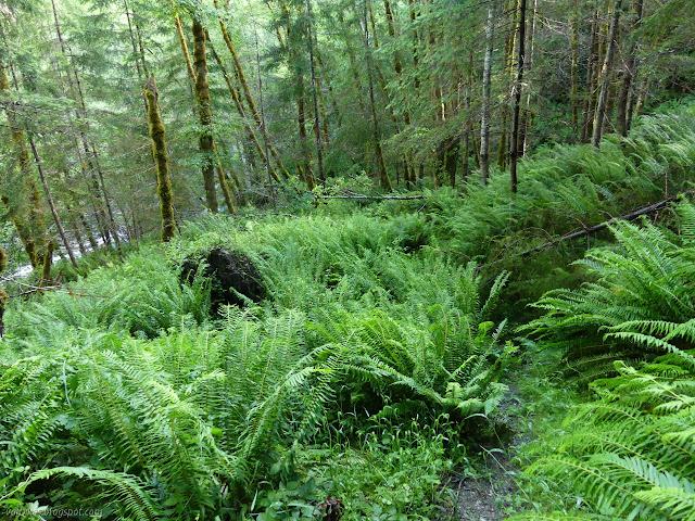 distinct trail through the ferns