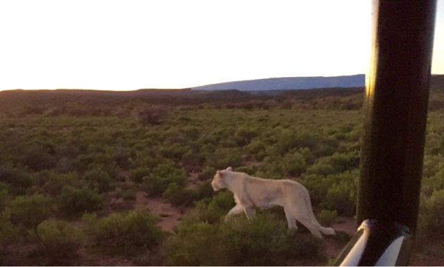 Lioness South Africa