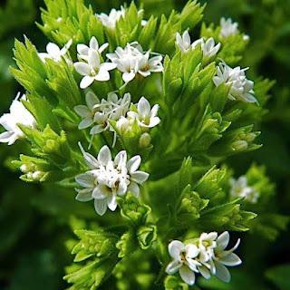Το φυτό ΣΤΕΒΙΑ (Stevia rebaudiana) ~ Διατροφικά πλεονεκτήματα