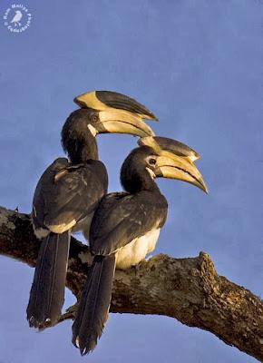 Cálao coronado Anthracoceros coronatus
