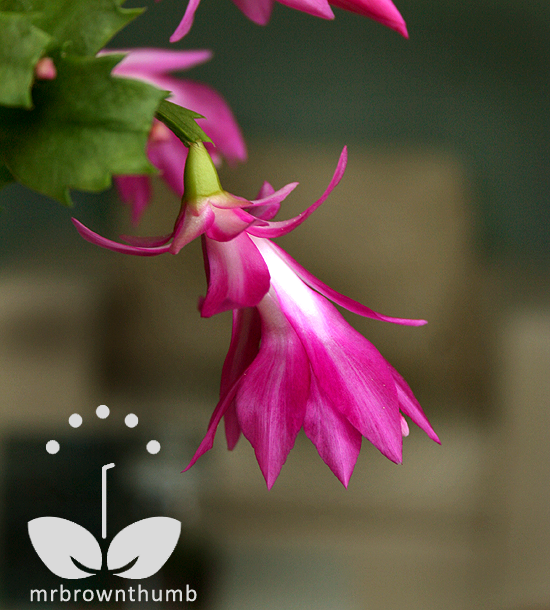 Christmas Cactus Blooming.Christmas Cactus Blooms Care And Identification Mrbrownthumb