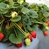 La fruta más contaminada que comes a diario