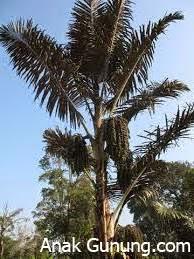 Mengenal-Manfaat-Pohon-Aren-Atau-Enau