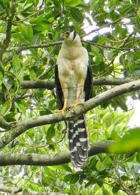 Collared Forest Falcon