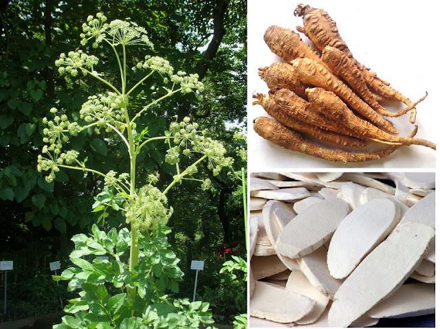 Bạch Chỉ - Angelica dahurica - Nguyên liệu làm thuốc Chữa Cảm Sốt