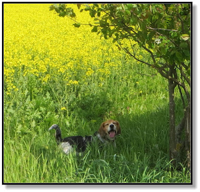 Beagle ruht sich aus