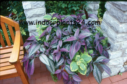 strobilanthes dyerianus persian shield indoor plant