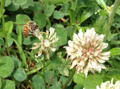 bee, beekeeping, bloom, climate, clover, Small Hive Beetle,