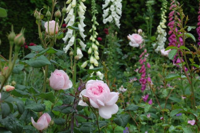 roses and foxgloves