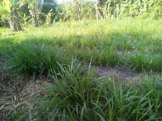 rumput odot masih muda
