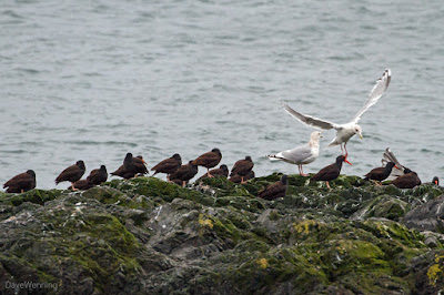 Black Oystercatchers and Gulls