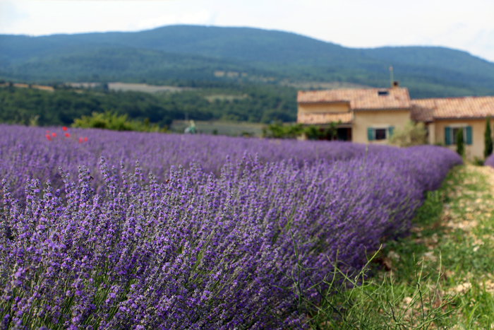 Lavendelfeld von Aroma'Plantes, Provence