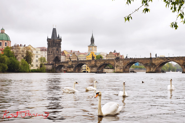 Swans on the Vlatava with the Charles Bridge in Spring Prague by Travel and Lifestyle Photographer Kent Johnson.