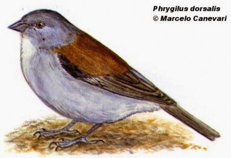 Comesebo puneño, Phrygilus dorsalis