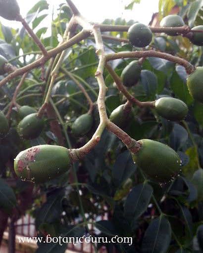 Spondias dulcis, Ambarella, Golden Apple, Great Hog Plum fruits