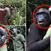 Simpanse yang Dilepaskan Ini Memeluk Penyelamatnya Sebagai Ucapan Selamat Tinggal