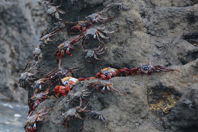 Urbina Bay Galapagos crab
